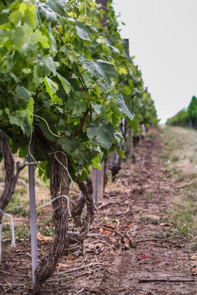Juzni Banat vinogradi 04.jpg