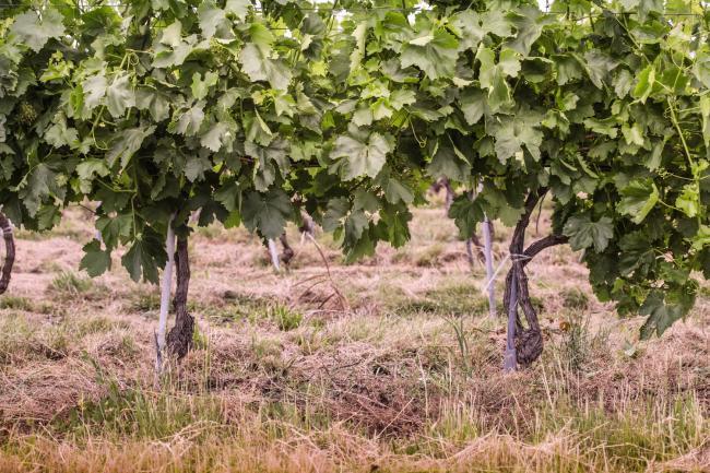 Juzni Banat vinogradi 02.jpg